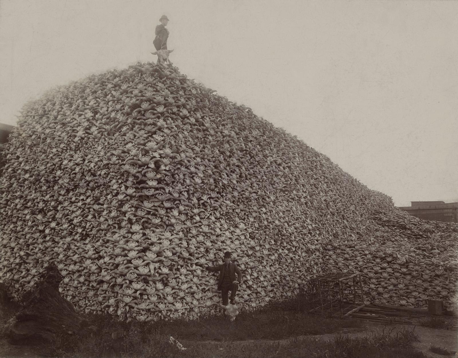 Fotografía de una pila de cráneos de bisonte para su uso como fertilizante, década de 1870